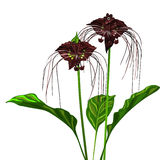 Tacca Stock Photography