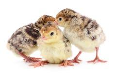 Tacchini del pollo Fotografia Stock Libera da Diritti