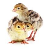 Tacchini del pollo Immagine Stock Libera da Diritti