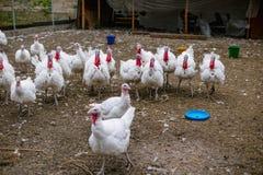 Tacchini di allevamento su un'azienda agricola Fotografia Stock