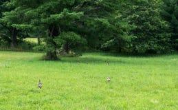 Tacchini e pulcini in un campo Fotografia Stock
