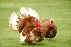 Tacchini selvaggi - uccello di ringraziamento? Fotografia Stock Libera da Diritti