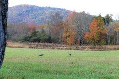 Tacchini in un campo con il contesto della montagna Fotografia Stock