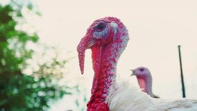 Tacchino bianco sull'iarda del ` s dell'uccello, primo piano capo Bello tacchino vivo La Turchia per la festa stock footage