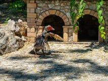 Tacchino del gallo di combattimento pronto a combattere a Atene, Grecia fotografie stock