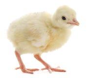 Tacchino del pollo Immagini Stock Libere da Diritti