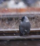 Taccola nella tempesta di inverno Fotografie Stock