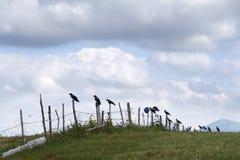 Taccole, corvi che stanno su un recinto - Durmitor, Montenegro Fotografia Stock Libera da Diritti