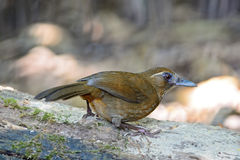 Tache-breasted Laughingthrush Photographie stock