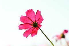 Tache floue de fleur rose de cosmos Photos stock