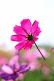 Tache floue de fleur rose de cosmos Photos stock