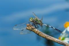 Tache floue de libellule de Damselfly de Zygoptera photos stock