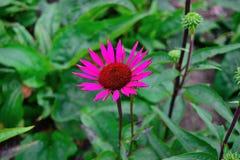 Tache floue de vin de vintage de purpurea d'Echinacea Photographie stock libre de droits