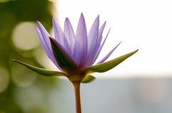 Tache floue pourpre de Lotus, bokeh, lumière, matin Photo libre de droits
