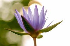 Tache floue pourpre de Lotus, bokeh, lumière, matin Photographie stock