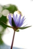 Tache floue pourpre de Lotus, bokeh, lumière, matin Photo stock