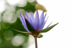 Tache floue pourpre de Lotus, bokeh, lumière, matin Photos stock