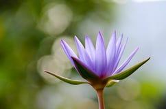 Tache floue pourpre de Lotus, bokeh, lumière, matin Photographie stock libre de droits