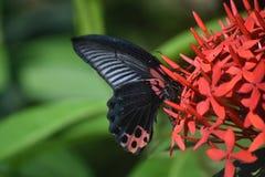 Taches noires et rouges sur les ailes d'un machaon d'écarlate Photos stock