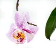 Taches roses d'orchidée blanche d'isolement Image libre de droits
