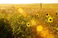 Taches solaires et fleurs du soleil Photographie stock