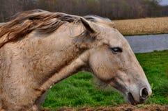 Tachetez le cheval gris Image libre de droits