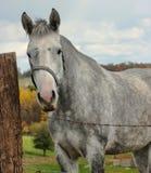 Tachetez le cheval gris Photographie stock