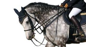 tachetez le cheval gris Photographie stock libre de droits