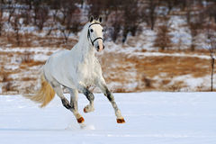 Tachetez le cheval gris galopant dans le domaine de neige Images stock