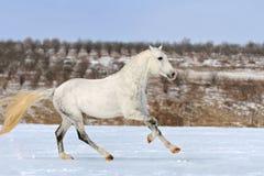 Tachetez le cheval gris galopant dans le domaine de neige Photos stock