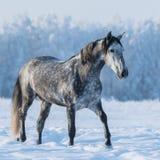 Tachetez le cheval gris sur le champ neigeux Photographie stock libre de droits