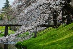 Tachikawa cherry blossom Royalty Free Stock Photo