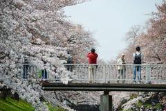tachikawa czereśniowy okwitnięcie fotografia stock