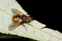 Tachina Fera on a leaf Stock Image