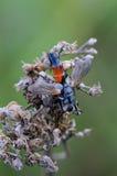 Tachina fluga med den orange buken Arkivfoton
