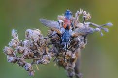 Tachina fluga med den orange buken Royaltyfri Fotografi