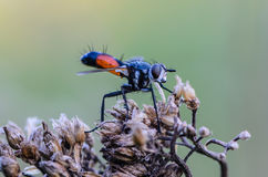 Tachina fluga med den orange buken Arkivfoto
