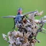 Tachina fluga med den orange buken Fotografering för Bildbyråer