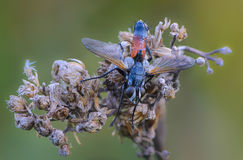 Tachina fly with orange belly Royalty Free Stock Photography