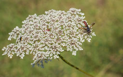 Tachina fly on a Wild Carrot flower Stock Image