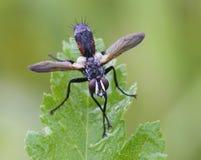 Tachinid-Fliegenporträt Stockfotografie