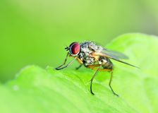 Tachinid Fly Royalty Free Stock Photo