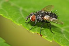 Tachinid fly Stock Image