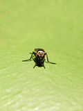 Tachinid Fly Stock Images