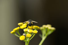 Tachinid Fly on Curry Flower Royalty Free Stock Photo