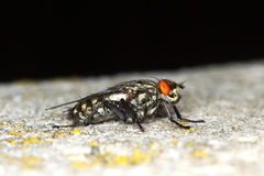 Tachinid fly extreme / Grey-Striped Fly / Royalty Free Stock Photo