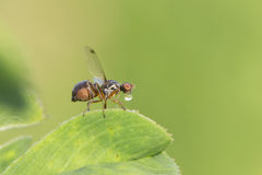 Tachinid fly making bubbles. Stock Photo