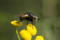Tachinid Fly mouth Royalty Free Stock Photos