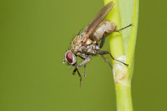 Tachinid fly Stock Photo