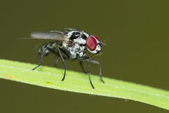 Tachinid fly Stock Photography